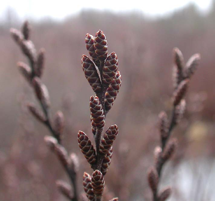 Sweet Gale catkins