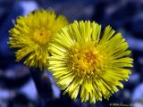 Coltsfoot with different lighting.