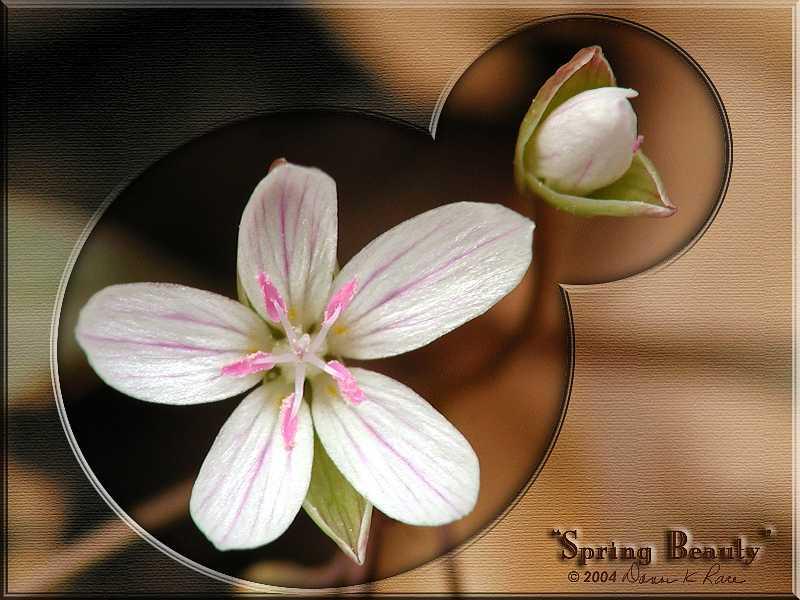 <b>Spring Beauty</b> ~ Mar, 2004