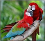 Green-winged Macaw - Love at First Bite