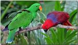 Eclectus Parrots - Male (left) & Female