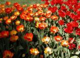 More Descanso Garden Tulips