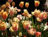 Descanso Tulips