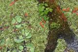 Water Ferns