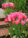 Filoli More Pink Tulips