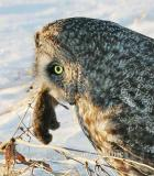 Great Gray Owl with catch