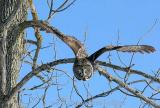 Great Gray Owl --- Become the Tree