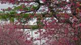 February cherry blossoms at Nakijin Castle