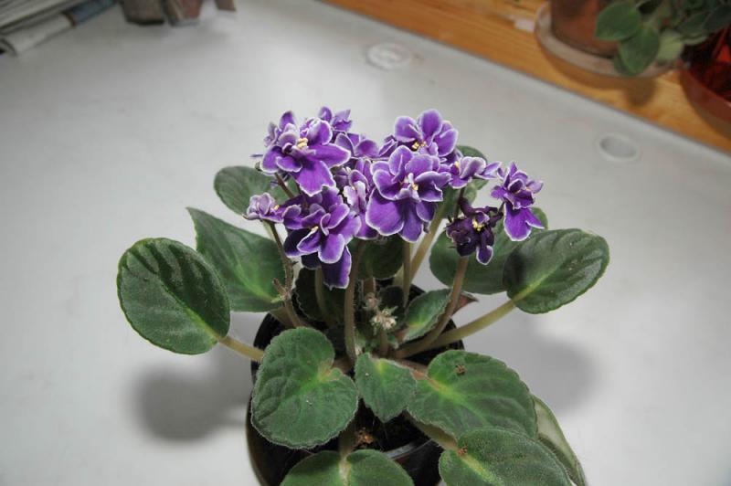 Violetta-africana-18mm.jpg