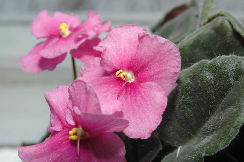 Violetta-africana-pink.jpg