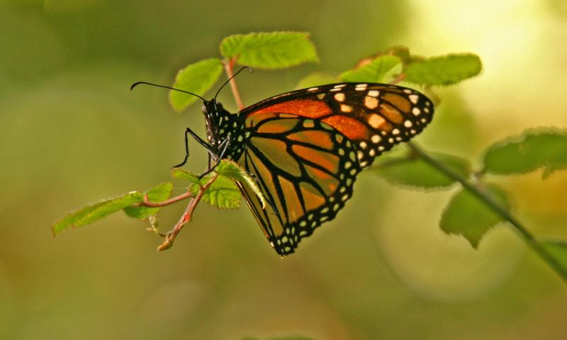 002_Monarch butterfly_8456`0501311132.JPG