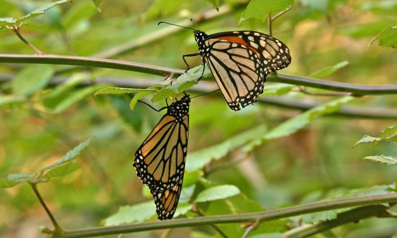 003_2 Monarch butterflies_8464`0501311138.JPG