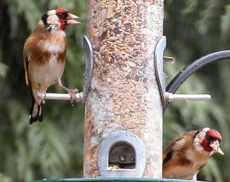 Goldfinch net.jpg