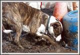 Muddy Dog - IMG_1897.jpg