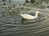 Duckwaves, Glenbrook
