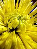 yellow flower ~ February 11th