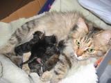 Newborn kittens with mom Aliisa
