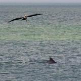 Pelican & Dolphin 5290