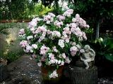 Renae...grown as a tree rose in a large wooden tub.  Renae can also be grown as a wonderful climber