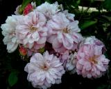 Renae Blooms...fragrant and lovely!