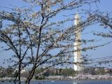 cherry_blossoms_2004