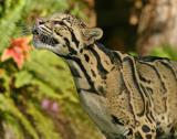 Cloudy leopard