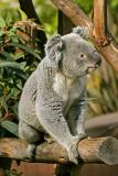 koala 4.jpg