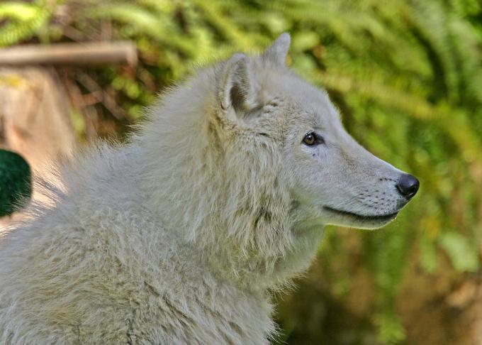 Alaskan white wolf pup 2