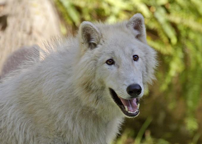 Alaskan white wolf pup
