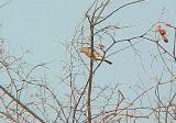 Am. Pipit - in tree