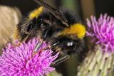 Bumble Bee with mites on Thistle Flower