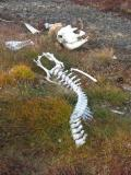 Musk Ox Skeleton