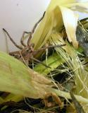 Wolf Spider in Compost Bucket