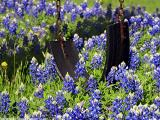 Swing in the Bluebonnets