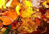 Yellow orange leafs