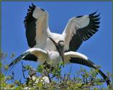 Mating Wood Storks