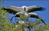 Mating Wood Storks 2