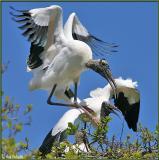 Mating Wood Storks 3