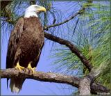 Eagle perched near nest