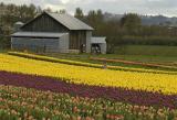 Girl-Lost-In-Tulips.jpg