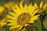 Yellow-Daisy-1280.jpg