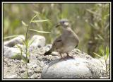 Croaking Ground-Dove 2