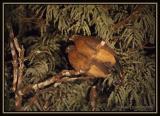Nocturnal Curassow