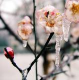 Plum Flower-1