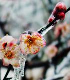 Plum Flower-3