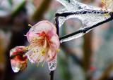 Plum Flower-4