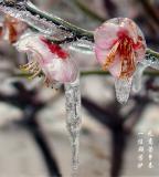 Plum Flower-7jz