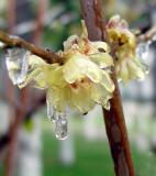 wintersweet,plum blossom,
