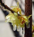 wintersweet,plum blossom-2-