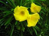 Be-still (Thevetia peruviana)